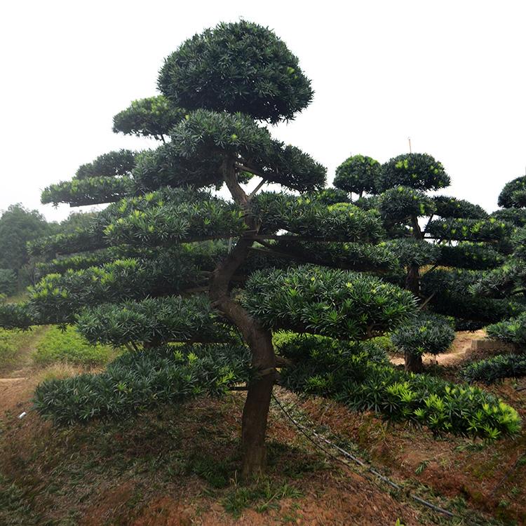 树形优美18公分造型罗汉,正在等着你哦!
