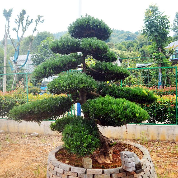 一个造型优美的罗汉松树!