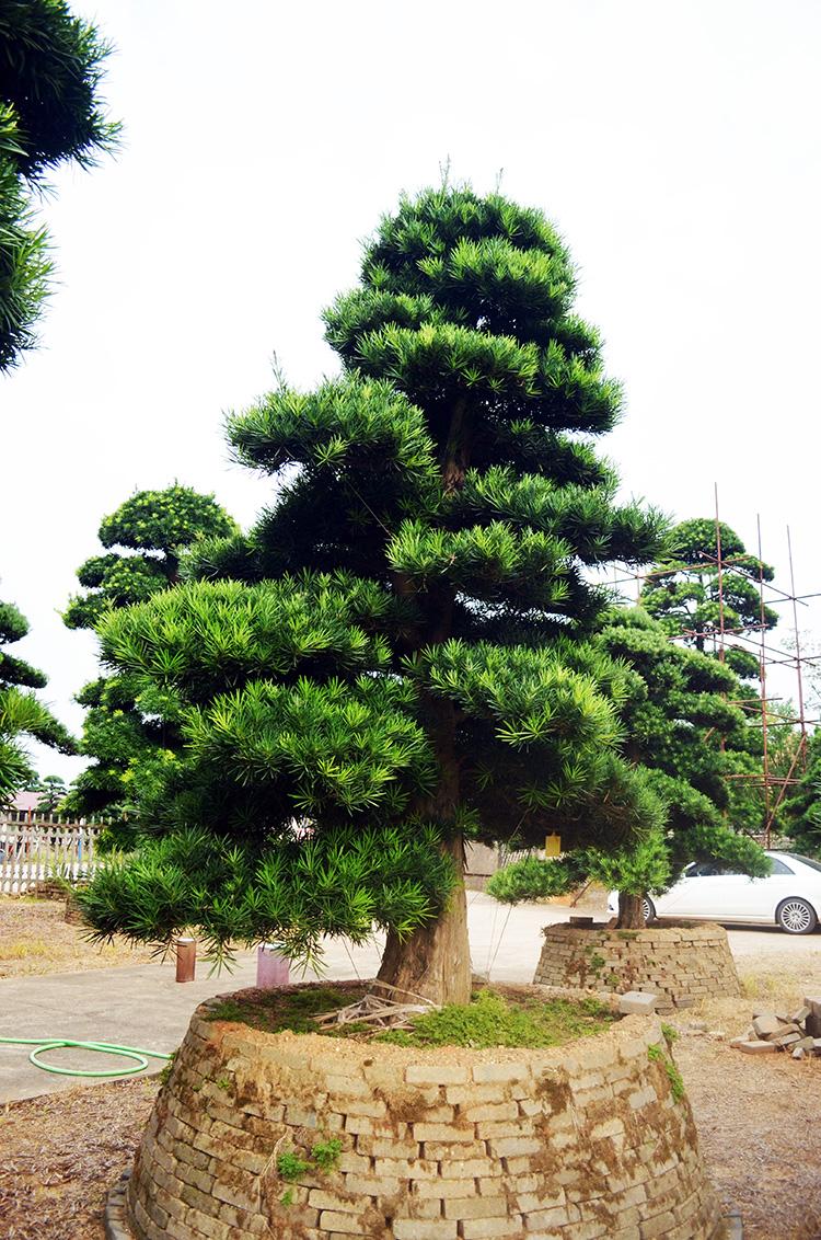 即将修剪的罗汉松树!