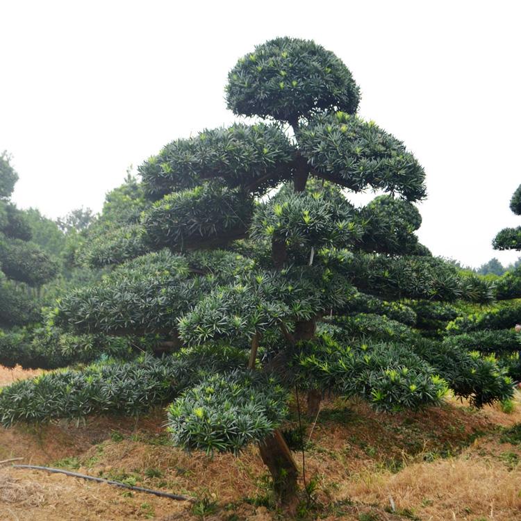 树形优美叶片饱满罗汉松